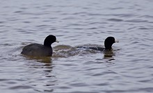 Beautiful Image With Two Amazing American Coots In The Lake
