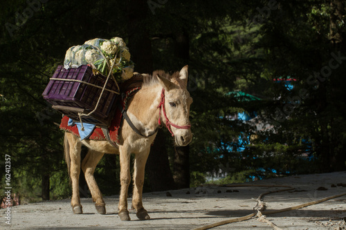 A loaded donkey. Transportation of goods in mountainous India