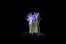 Small Purple Flower On Black Background