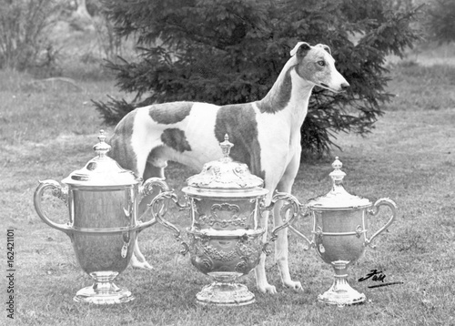 Fotografie, Obraz  Fall - Crufts - 1956 - Greyhound. Date: 1956