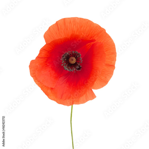 Photo  bright red poppy flower isolated on white