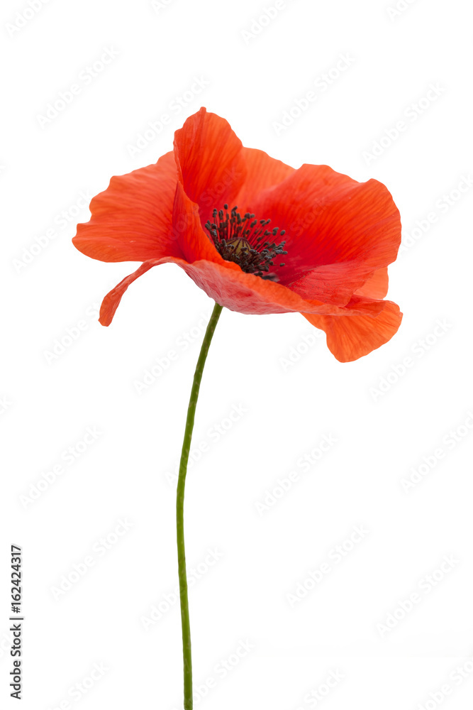 bright red poppy flower isolated on white - obrazy, fototapety, plakaty