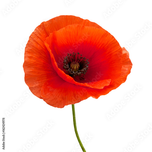 Fotoposter Poppy bright red poppy flower isolated on white
