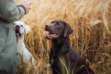 Portrait Von Einem Jungen Braunen Labrador Retriever Hund Welpen Mit Hellen Intensiven Augen