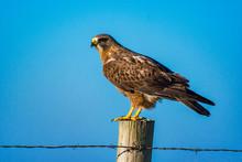 Swainson's Hawk Perched On Fen...