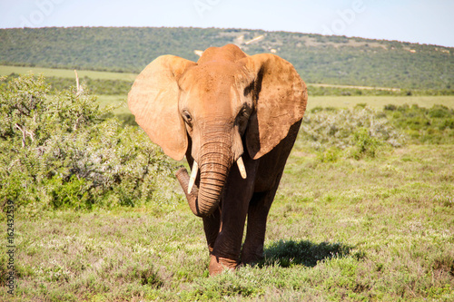 Poster Olifant Elephants in Addo Elephant National Park, South Africa