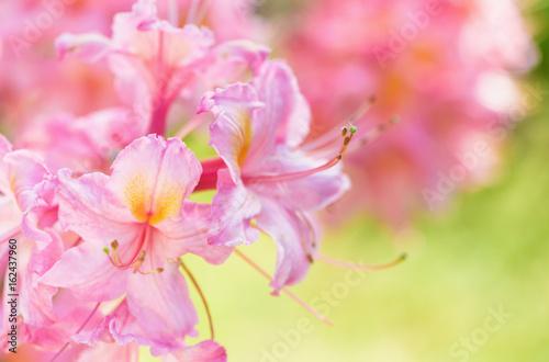 Plakat Azalii kwiat i piękno jaskrawy naturalny zieleni i koloru żółtego tło.