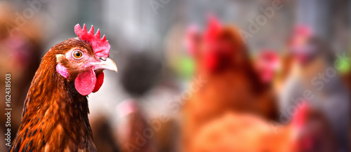 Chickens on traditional free range poultry farm Fototapet