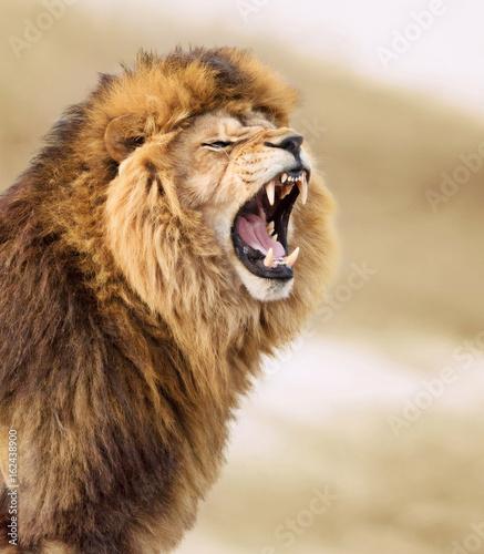 Foto op Plexiglas Leeuw Great lion