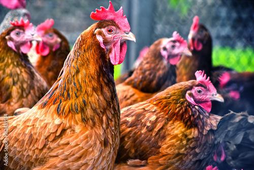 Chickens on traditional free range poultry farm Fototapeta