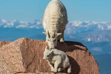 Mountain Goat Mother Encouragi...