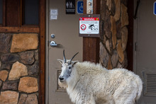 Mountain Goat-Warning Sign With Challenger