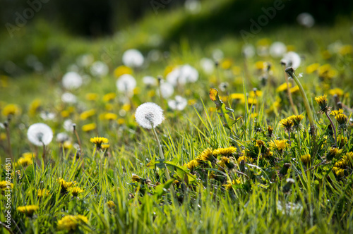 Keuken foto achterwand Lente Dandelions young and old in a field