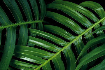 Fototapeta na wymiar Tropical green leaf pattern textures on black background, Monstera philodendron plant close up for wall art decoration.