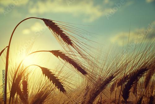 Golden ears of barley on the field at sunset. Fototapeta