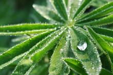 A Drop Of Dew On A Lupine Leaf