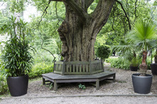 Bench Around The Tree In The P...