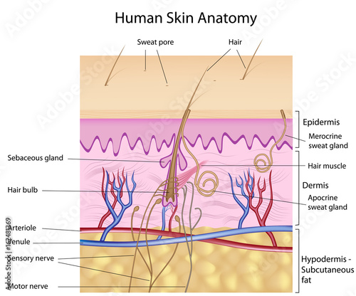 Human Skin Anatomy Labeled Buy This Stock Illustration And