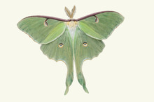 Lunar Moth Cut Out On White Background