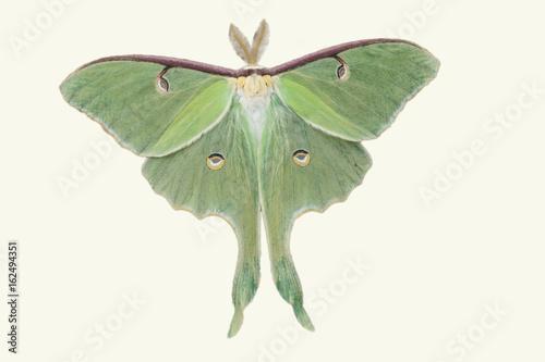 Obraz Lunar Moth cut out on white background - fototapety do salonu