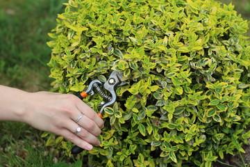 kobieta ucina roślinę sekatorem, ręka i zielony kwiat