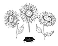 Sunflower Flower Vector Drawin...