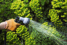 A Gardener Watering Plants In ...