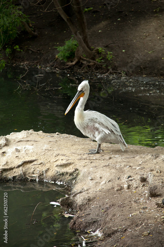 Photo Old pelican walks on the shore of the lake