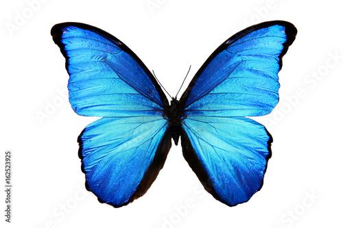 In de dag Vlinder бабочка Morpho didius
