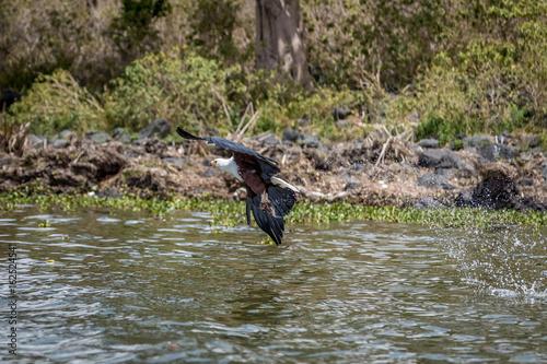 Fotobehang Vissen African Fish Eagle Haliaeetus vocifer