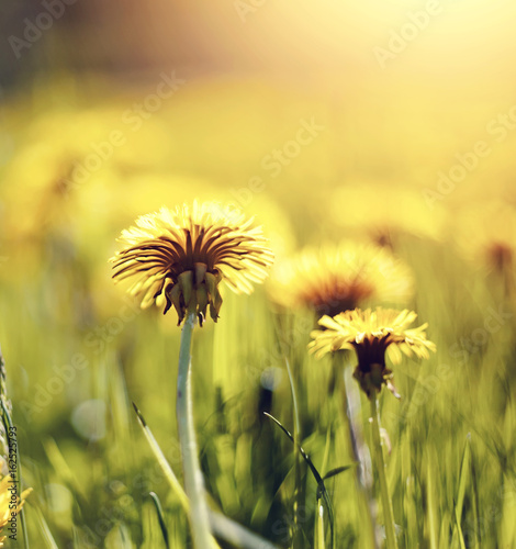 Fototapety, obrazy: Yellow flowers of weed dandelions.