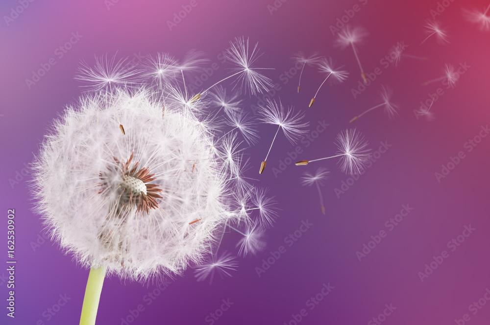 Fototapety, obrazy: Dandelion flying on pink background