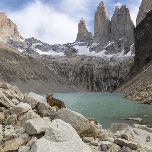 Fotografie, Obraz  Andean fox at Torres del Paine