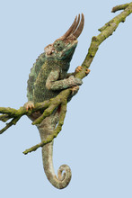 Chameleon (Trioceros Jacksonii...