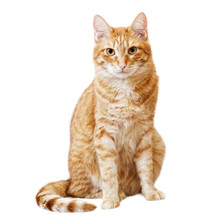 Ginger Cat Sits And Looks Directly In Camera