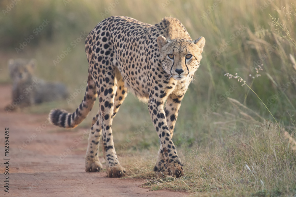 Female cheetah walking along a road to her cub