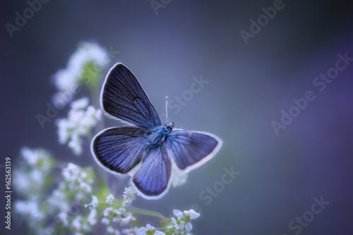 Fotografia  Argus bleu
