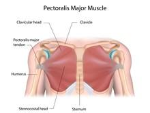 Pectoralis Major Muscle, Label...