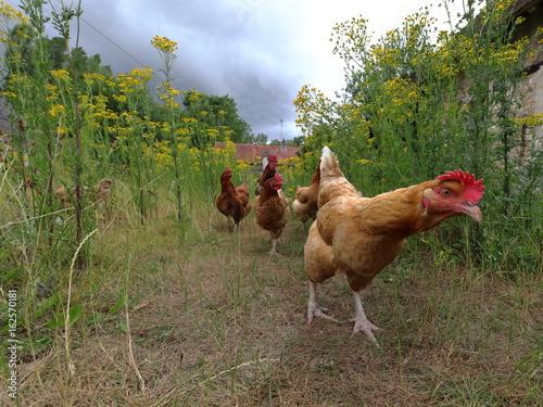 La pose en embrasure Poules poules curieuses