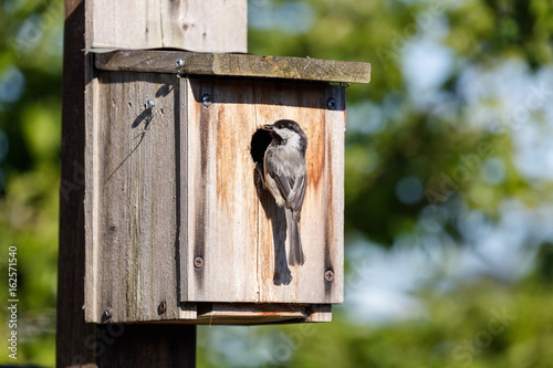 Photographie birdhouse and Black-capped Chickadee