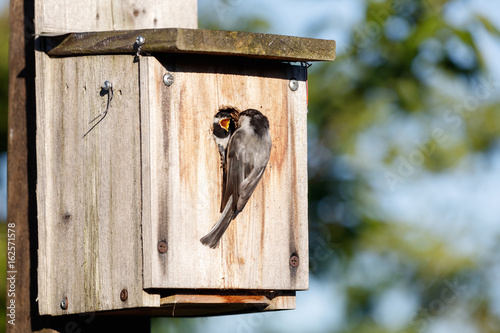 birdhouse and Black-capped Chickadee Wallpaper Mural
