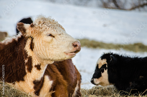 A Brown And White Jersey Cow With Her Black And White Calf During A
