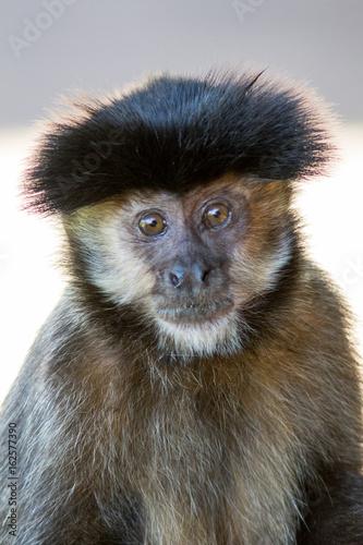 Photo Black capped cauchin (Sapajus apella)