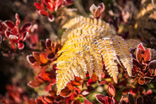 Frost On Yellow Fern With Red ...