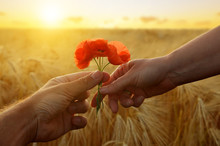 Hand Gives A Flower Of Poppies With Love At Sunset. Romantic Concept.