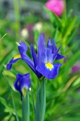 Blaue Iris im Garten
