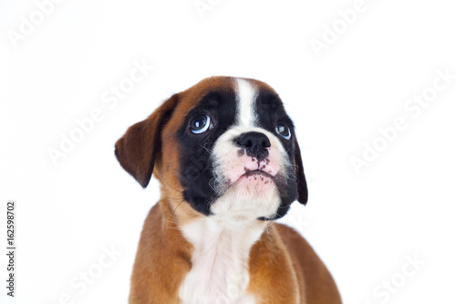 Foto  Adorable boxer puppy looking up
