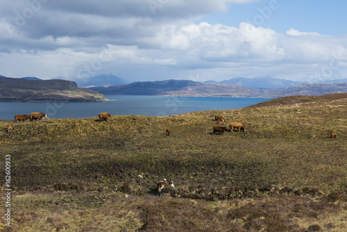 Photographie  Cows on Isle of Skye