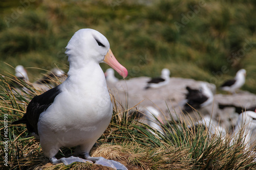Fotografia, Obraz  Black-Browed Albatross on Westpoint Island