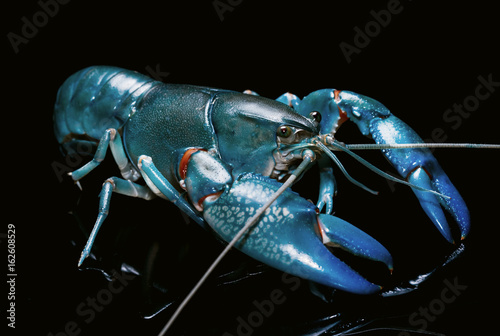 Blue crayfish cherax destructor,Yabbie Crayfish isolate on black